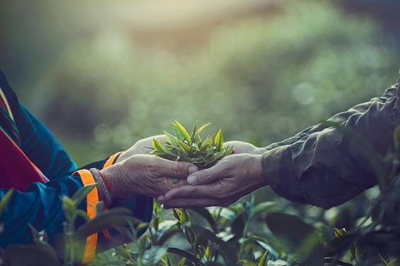 紅茶収穫イメージ