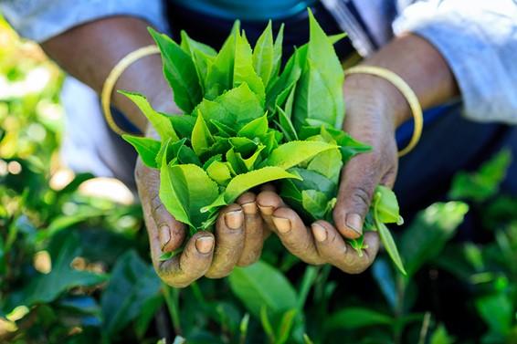 紅茶葉イメージ